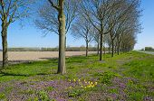 image of row trees  - Purple wildflowers under a row of trees in spring - JPG