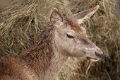 image of cervus elaphus  - portrait of adult female European red deer  - JPG