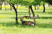 picture of deer family  - Herd of Deer Lying Down and Relaxing in Shade of Grove of Trees Surrounded by Yellow Wild Flowers - JPG