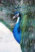 stock photo of feathers  - Close up view of the head of a peacock with iridescent blue feathers displaying the tail covert feathers in a mating display - JPG