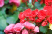 foto of begonias  - blurry defocused image of pink red begonia flower in flowerbed for background - JPG