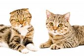 image of scottish-fold  - Portrait of two cats Scottish Fold and Scottish Straight lying together isolated on white background - JPG