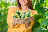 image of cucumbers  - Young woman in a greenhouse with cucumber plants - JPG