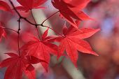 picture of uniqueness  - These red maple leaves all have unique and distinct markings created by nature - JPG