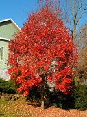 image of maple tree  - bright red fall foliage of the red maple tree - JPG