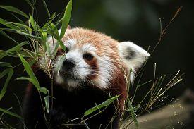 picture of panda  - Red panda  - JPG