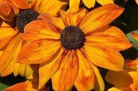 picture of black-eyed susans  - Rudbeckia is a plant genus in the sunflower family - JPG