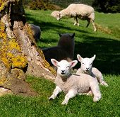 stock photo of spring lambs  - Cute spring lambs in the sun - JPG