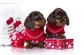 Puppy dachshund, New Years puppy, Christmas dog poster