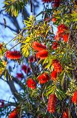 Chenille Foxtail Acalypha Plant Tree In Sunlight With Fuzzy Red Flowers poster