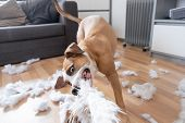 Funny Playful Dog Destroying A Fluffy Pillow At Home. Staffordshire Terrier Tearing Apart A Piece Of poster