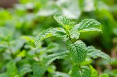 Peppermint Herb Or Vegetables For Cook, The Plant Is Useful In Cooking As A Herb To Extract Fresh Sc poster