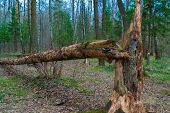 A Tree Blown Down By The Wind. Fallen Pine. Dry Fallen Tree. The Nature Of The Russian Taiga. Birch  poster