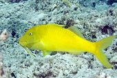 yellowsaddle goatfish (parupeneus