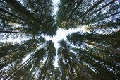 Forest Canopy Of Dense Spruce Forest Against Blue Sky, Unique View From Below. Sustainable Industry, poster