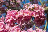 Pink Trumpet Tree Flower Blooming. Tabebuia Rosea (family Bignoniaceae) Common Name Pink Trumpet Tre poster