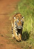 Stalking Tigress, Telia Sisters, Tadoba, Maharashtra State Of India poster