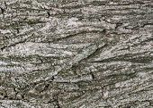 Background Texture Of Tree Bark. Skin The Bark Of A Tree That Traces Cracking. Tree Bark Texture. Na poster