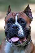 Close Up Portrait Of Old School Boxer Dog With Metal Collar, Cut Ears, Ginger And White With Black M poster