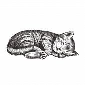 The Kitten Is Sleeping. Kitty Hand Drawing. Kitten Vector Illustration poster