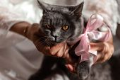 Young Cute Cat Enjoys Having Fun With His Human Friend. The British Shorthair Pedigreed Kitten With  poster