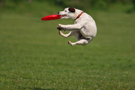 image of funny animals  - Jack russel terier during a funny catch - JPG
