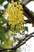 image of vishu  - view of golden shower tree flowers in summer - JPG