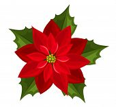 image of poinsettia  - Vector illustration of red poinsettia isolated on a white background - JPG