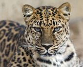 stock photo of leopard  - A young amur leopard stares intently into the camera - JPG