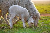 foto of mustering  - cute little lamb and sheep on field - JPG