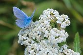 stock photo of broad-bodied  - Furry male Adonis Blue butterfly sits on a wild white flower against a green grassy background - JPG
