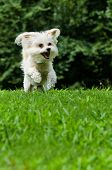 Maltipoo dog running and jumping in field with copyspace