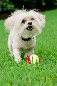image of maltipoo  - Portrait of maltipoo dog playing with ball in field - JPG