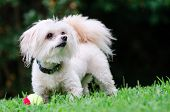 picture of maltipoo  - Portrait of maltipoo dog playing with ball in field - JPG