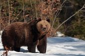 Brown bear in the forest of Maramures Mountains