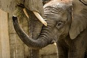 stock photo of schoenbrunn  - African elephant baby Tuluba with his mother in ZOO Schoenbrunn - JPG