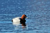 duck on the lake (aythya ferina)