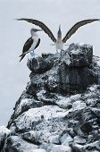 stock photo of blue footed booby  - Ecuador Galapagos Islands two Blue - JPG