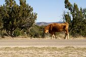 foto of open grazing area  - Thin red cow grazing alongside the road in an open range area of a national forest - JPG