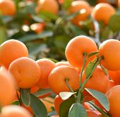picture of tangerine-tree  - orange grow on tree - JPG