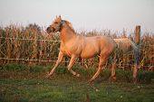 Nice Palomino Quarter Horse In Sunset