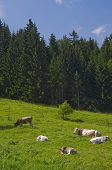 Alpine Meadow Cows
