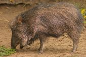 foto of javelina  - Peccary or Javelina feeding - JPG