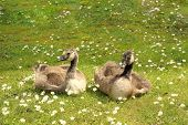 Two Goslings In The Summer Sunshine