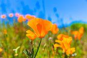 stock photo of poppy flower  - Poppies poppy flowers in orange at California spring fields USA - JPG