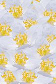 image of windflowers  - Floral background with lots of white windflowers - JPG