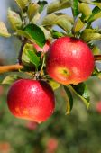 foto of apple orchard  - Shiny delicious apples hanging from a tree branch in an apple orchard - JPG