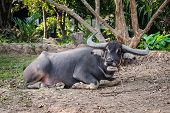 Single Sitting Water Buffalo