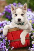 foto of puppy eyes  - A cute little Siberian Husky puppy with striking blue eyes sits in a red basket in the middle of a garden - JPG