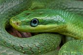 image of tree snake  - The emerald rat snake is a beautiful - JPG